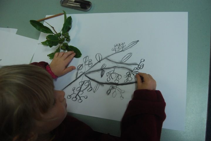 drawing pittosporum